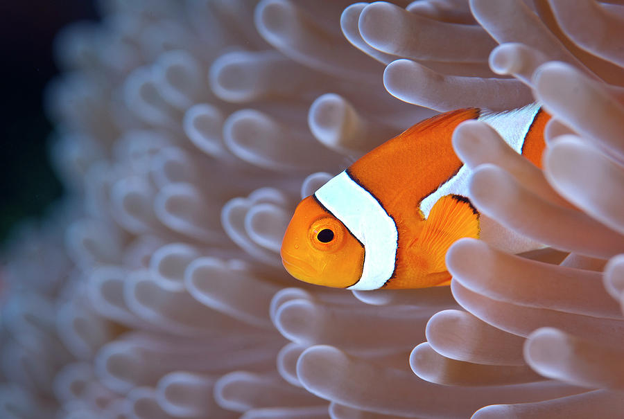Horizontal Photograph - Clownfish In White Anemone by Alastair Pollock Photography