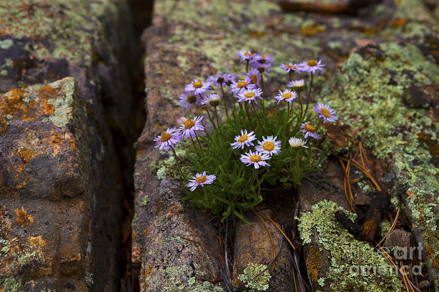 Wildflowers Photograph - Clump Of Asters by Barbara Schultheis