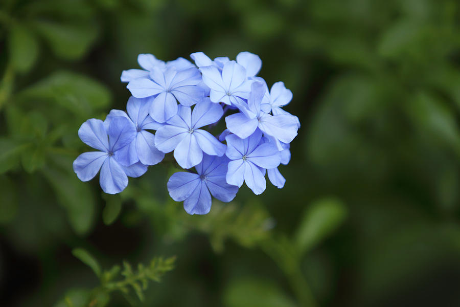 Blue Photograph - Cluster Of Blue Phlox by Linda Phelps