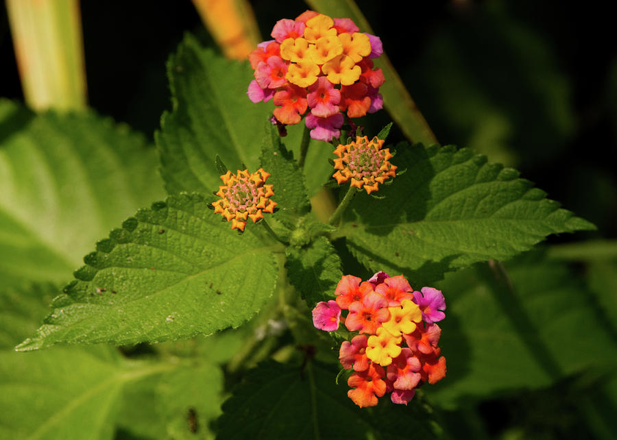 Cluster of Lantana flowers by Vincent Billotto