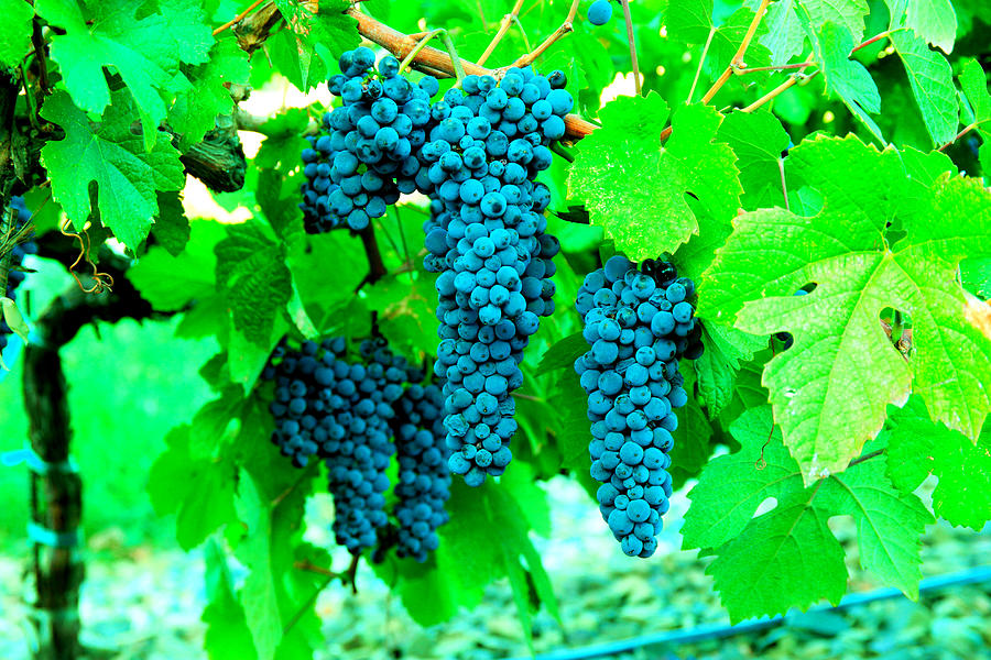 Cluster Of Wine Grapes Photograph