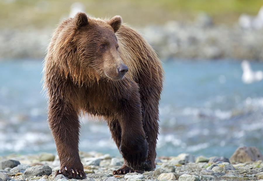Brown Photograph - Coastal Brown Bear by Brian Magnier