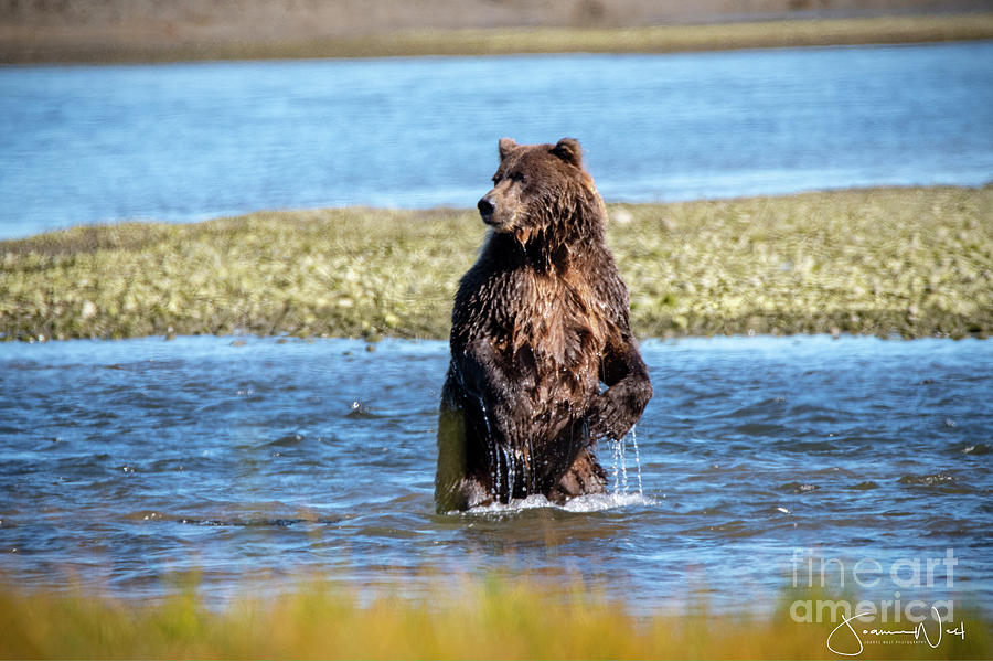 Coastal Brown Bear Taking Stand by Joanne West