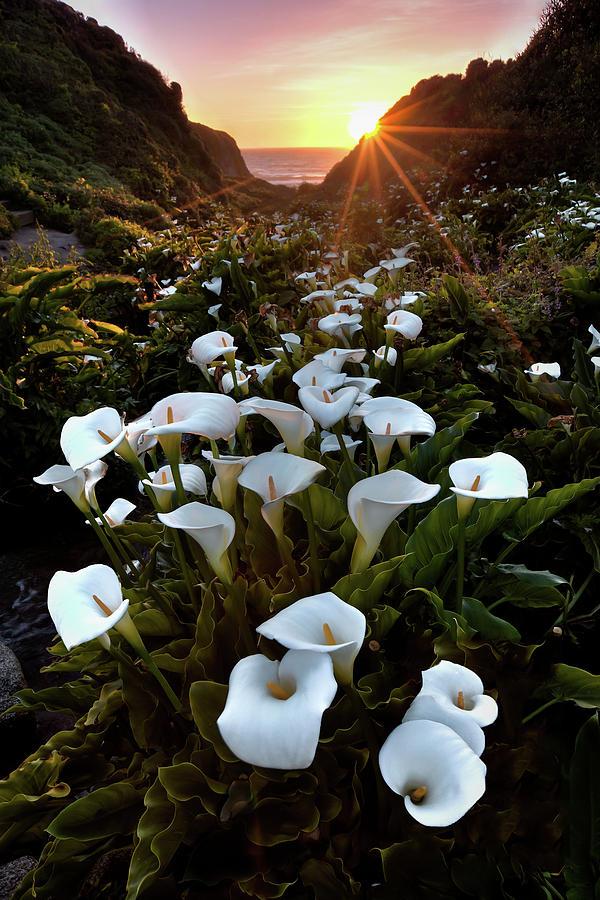 Big Sur Photograph - Coastal Calla Lilies by Ryan Smith