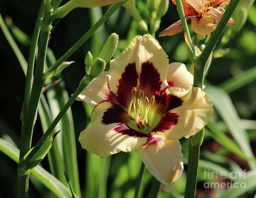 Mums Photograph - coat and tie Daylily by Lori Tordsen