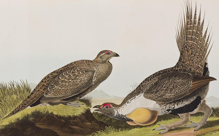 Sage Grouse Painting - Cock Of The Plains by John James Audubon