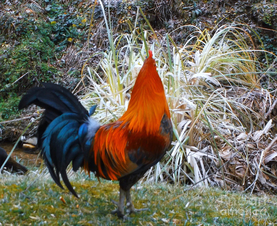 Chickens Photograph - Cock Walk II by Donna Dixon