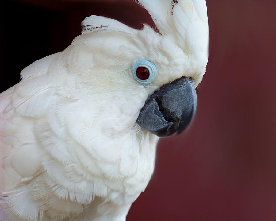 Cockatoo Photograph - Cockatoo Portrait by Jai Johnson