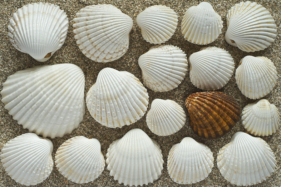 Cockles Photograph - Cockles Collection by Igor Voljch