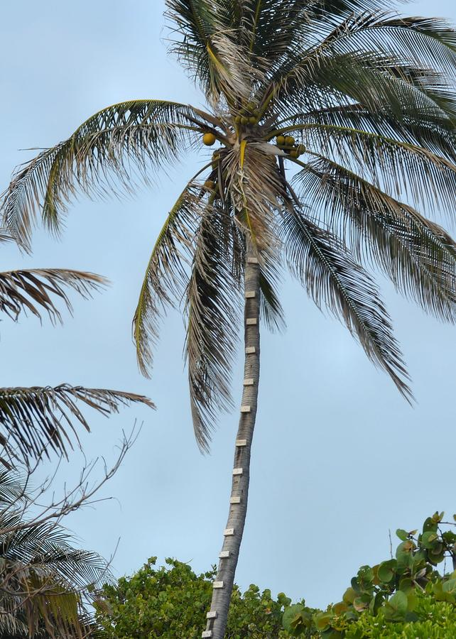 Grand Photograph - Coconut Collecting by JAMART Photography