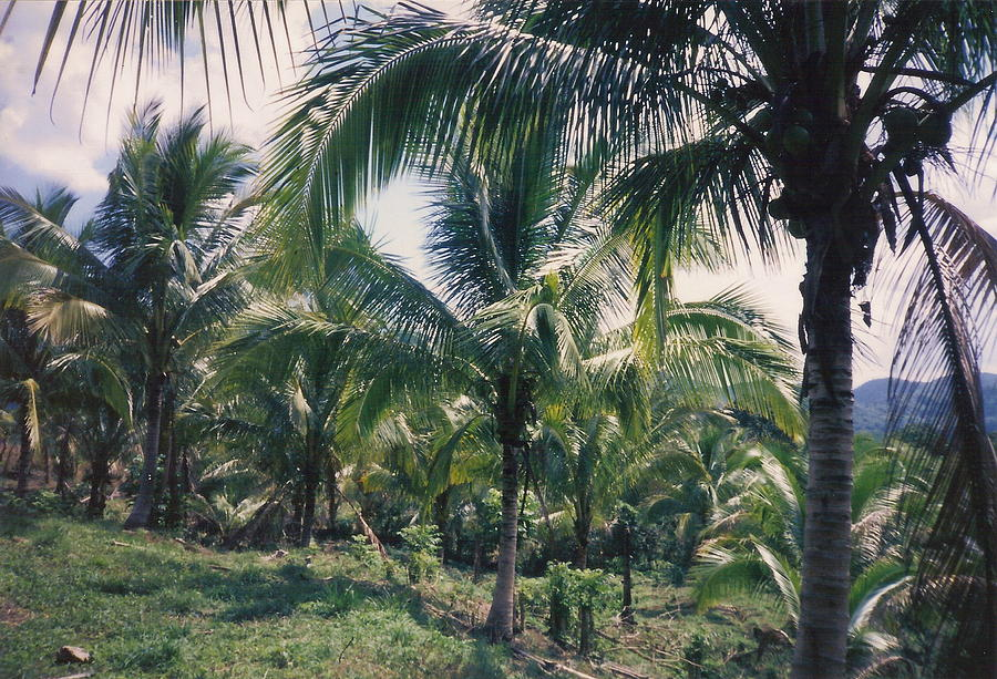 Jamaica Photograph - Coconut Farm by Debbie Levene