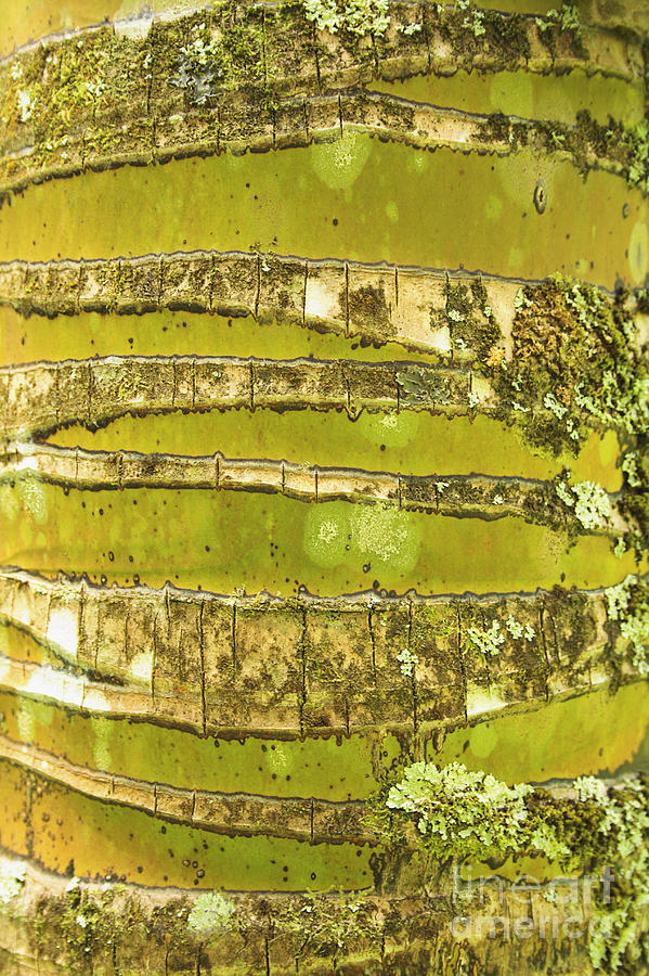 Abstract Photograph - Coconut Palm Bark 1 by Brandon Tabiolo - Printscapes
