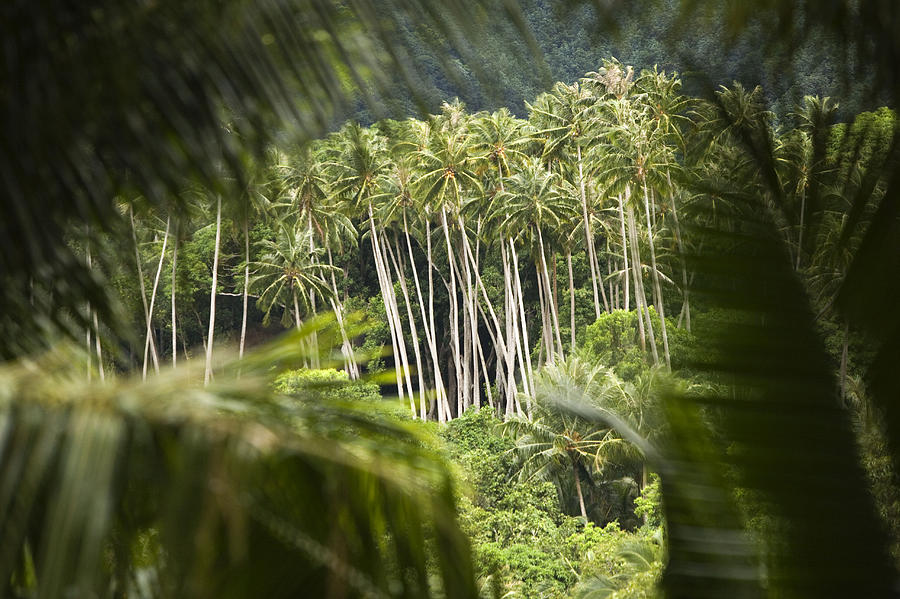 Coconut Palm Trees Photograph - Coconut Palm Trees by Tim Laman