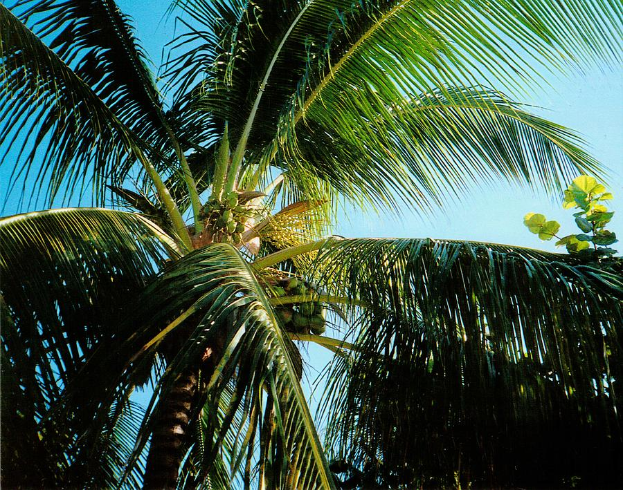 Jamaica Photograph - Coconut Tree by Debbie Levene