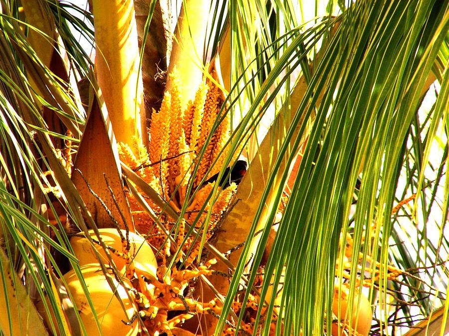 Tree Photograph - Coconut Tree by Glenda  Jones