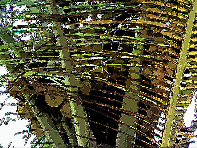 Coconuts Photograph - Coconuts Trapped In Leaves by Padamvir Singh
