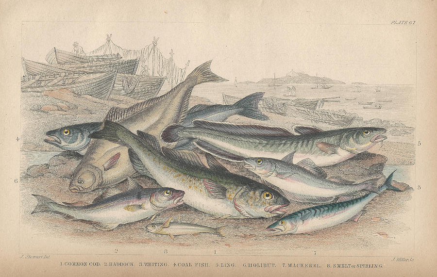Goldsmith Drawing - Cod And Halibut by Dreyer Wildlife Print Collections