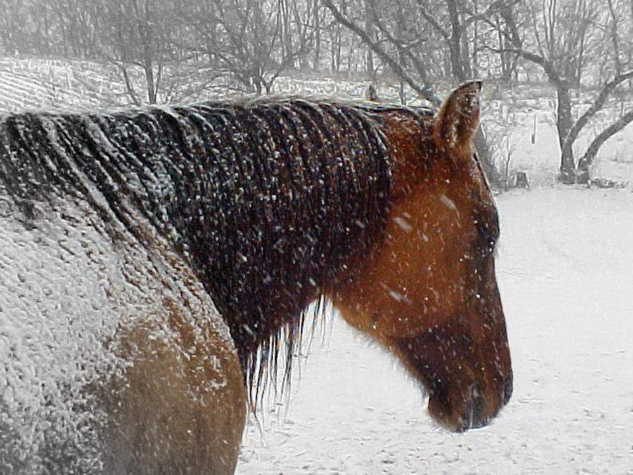 Quarter Horse Photograph - Cody by Scot Johnson