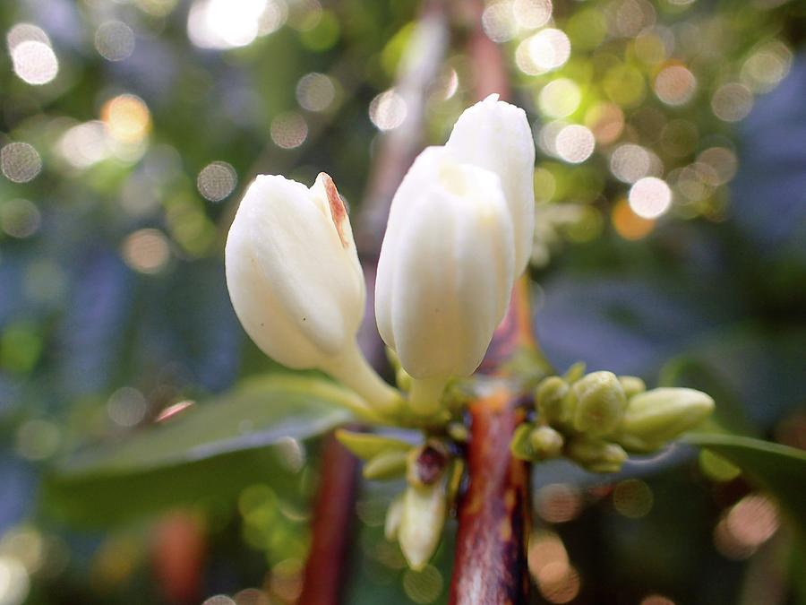 Coffee Photograph - Coffee Blossom 2 by Lora Louise
