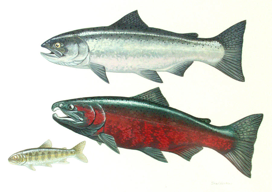 Salmon Painting - Coho Salmon by Shari Erickson