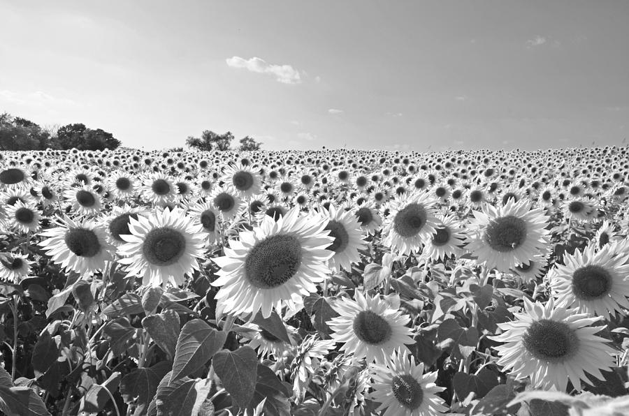 Newbury photograph colby farms sunflower field newbury ma black and white by toby mcguire