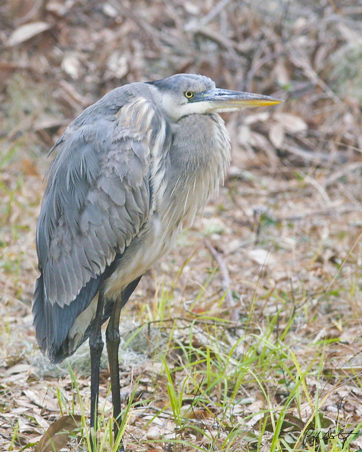 Bird Photograph - Cold Blue Heron by Phill Doherty
