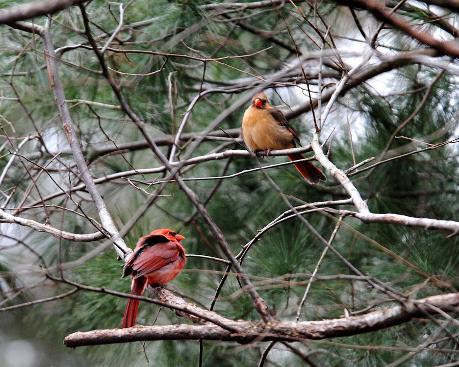 Cardinal Photograph - Cold Winter Day by Jai Johnson