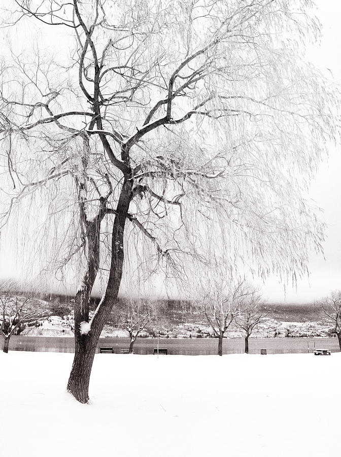 Tree Photograph - Coldness by Tara Turner