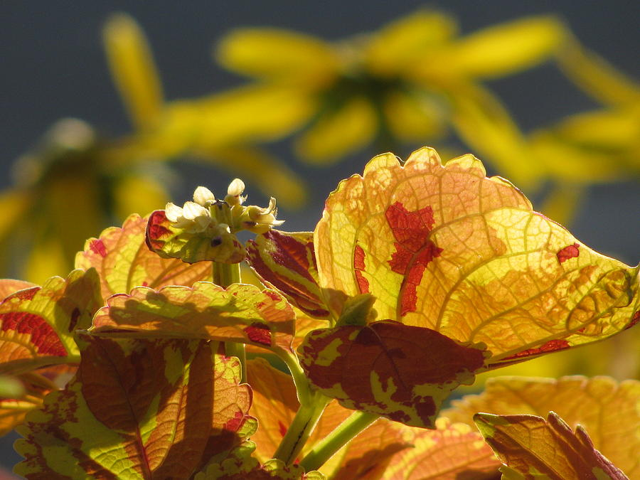 Leaf Photograph - Coleus  by Alfred Ng