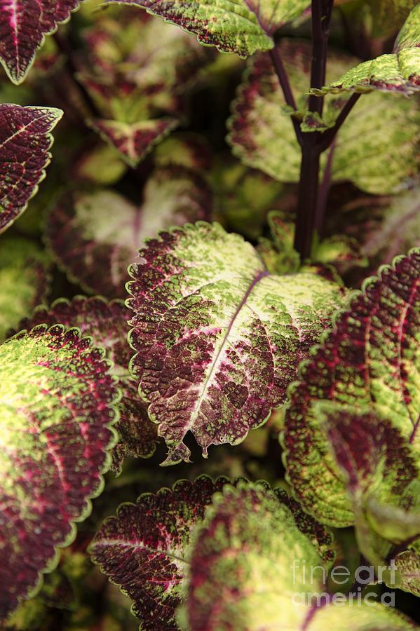 New England Photograph - Coleus Plant by Erin Paul Donovan