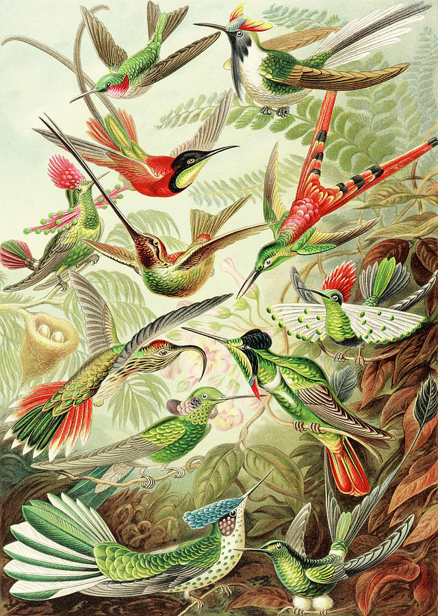 Hummingbirds Painting - Colibri by Ernst Haeckel