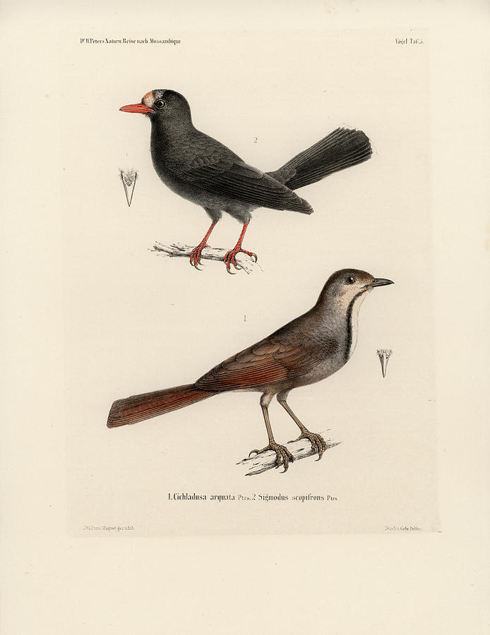 Collared Palm Thrush and Chestnut-fronted Helmetshrike by J D L Franz Wagner