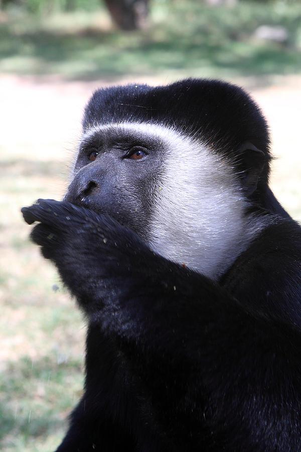 Colobus Photograph - Colobus Monkey by Aidan Moran