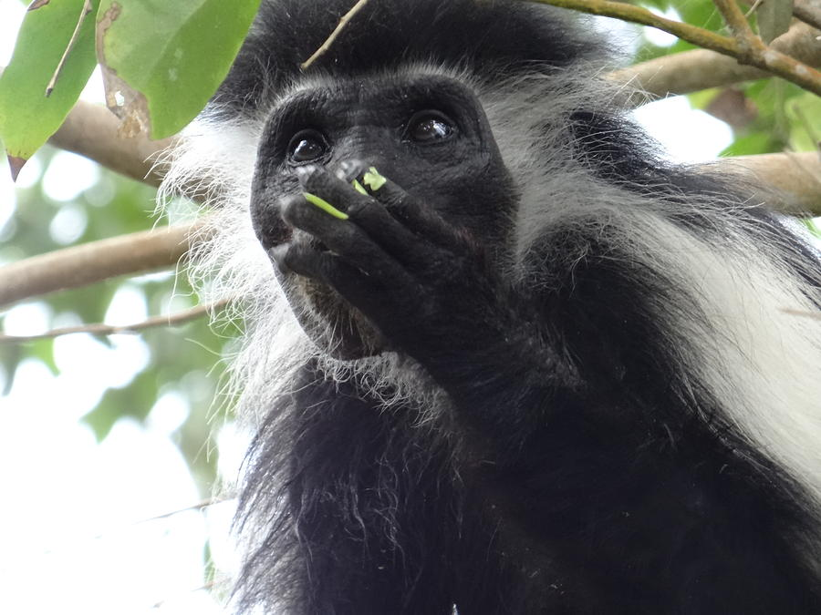 Unschooling Photograph - Colobus Monkey eating leaves in a tree 2 by Exploramum Exploramum