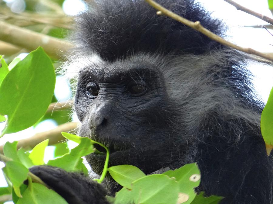 Unschooling Photograph - Colobus Monkey eating leaves in a tree close up by Exploramum Exploramum