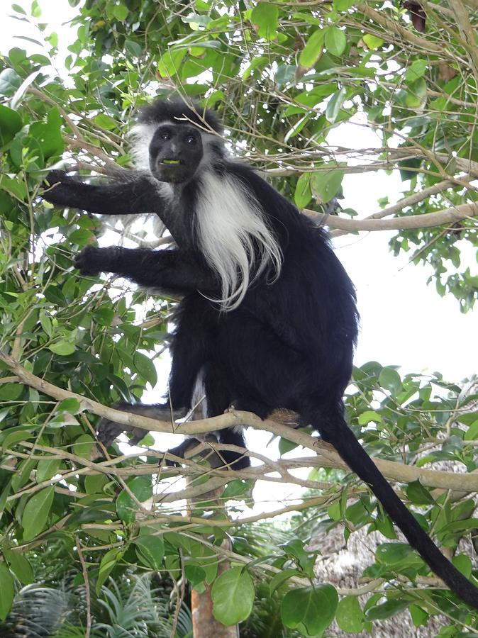 Unschooling Photograph - Colobus Monkey eating leaves in a tree by Exploramum Exploramum