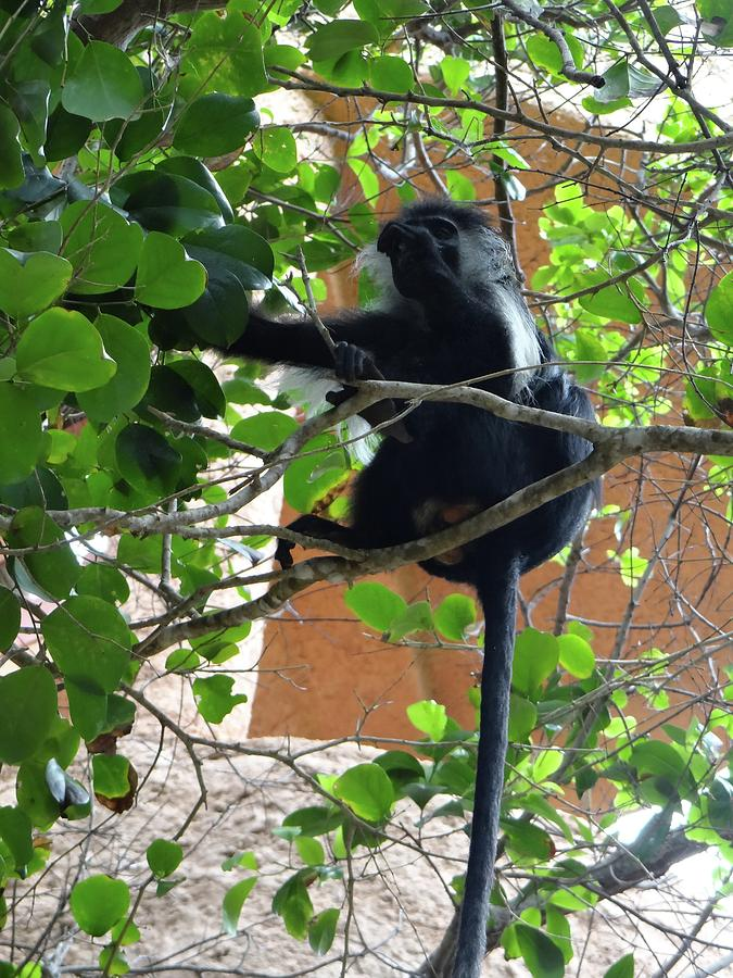 Unschooling Photograph - Colobus Monkey eating leaves in a tree - full body by Exploramum Exploramum