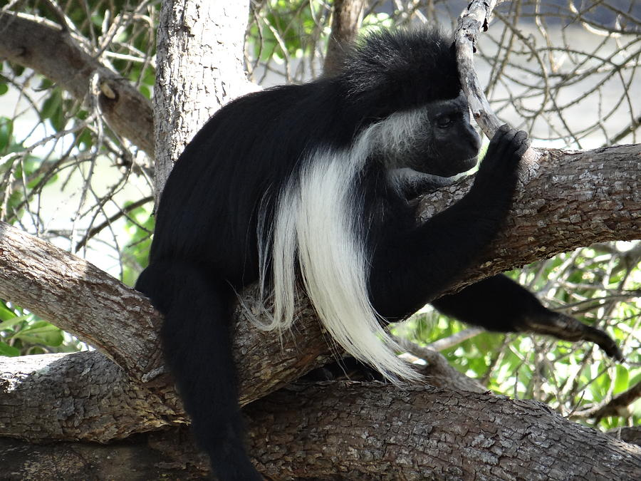 Unschooling Photograph - Colobus Monkey resting in a tree by Exploramum Exploramum