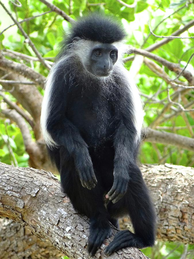 Unschooling Photograph - Colobus Monkey sitting in a tree 2 by Exploramum Exploramum
