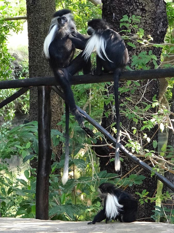 Unschooling Photograph - Colobus monkeys picking fleas by Exploramum Exploramum