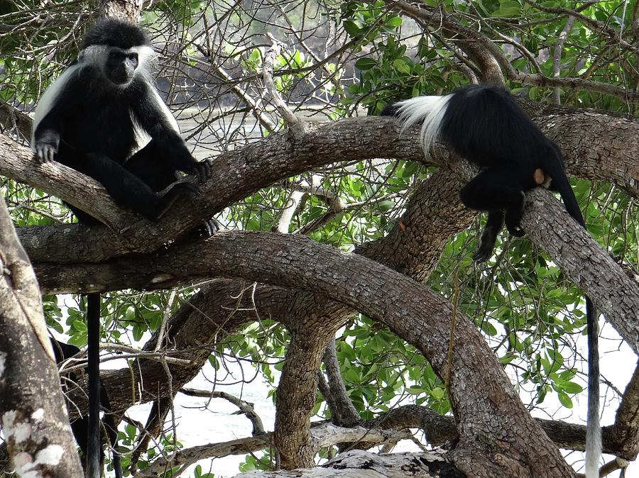 Unschooling Photograph - Colobus Monkeys sitting in a tree by Exploramum Exploramum