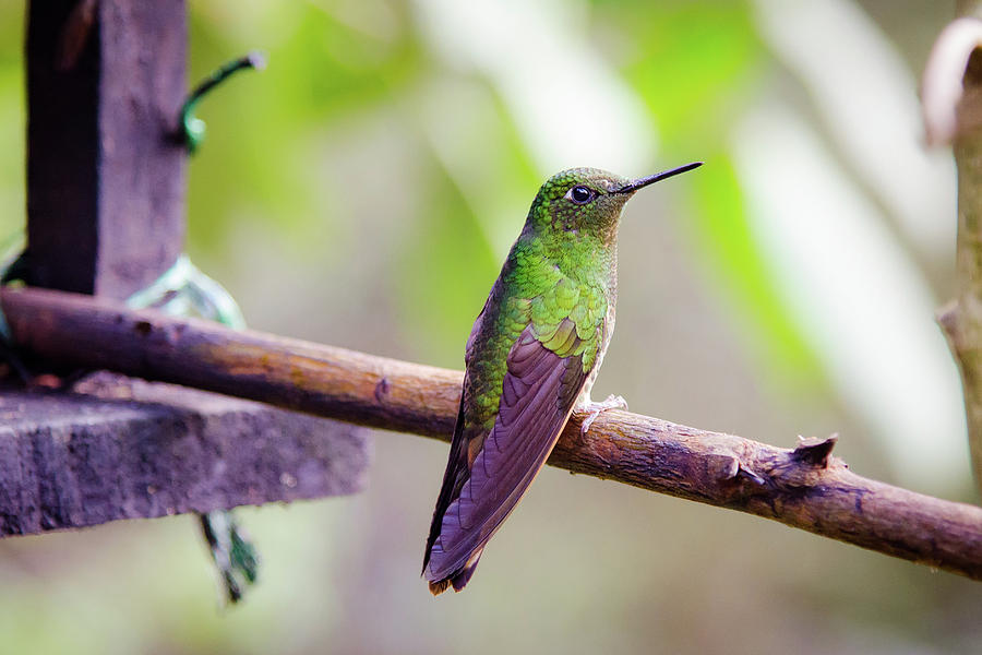 Hummingbird Photograph - Colombian Hummingbird by Michael Weber