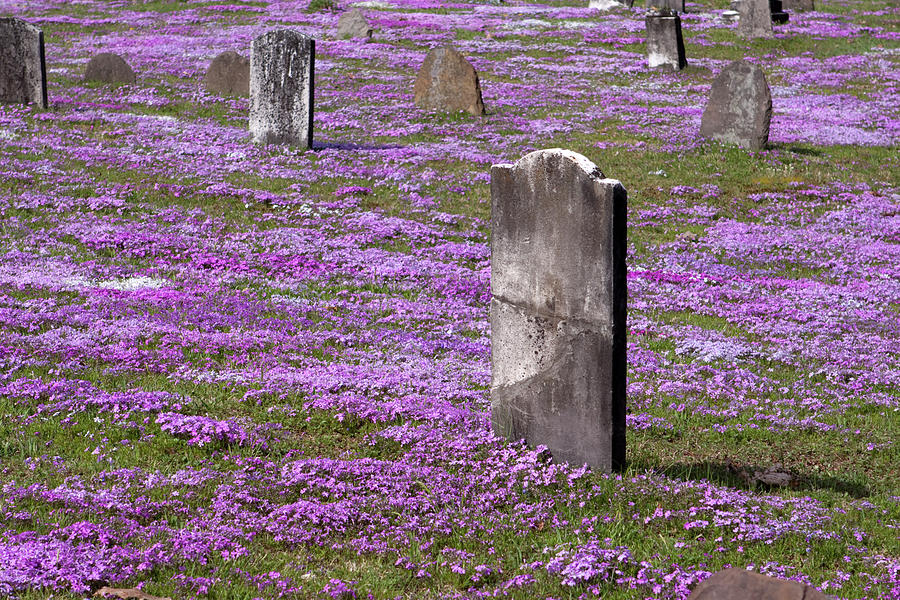 Tombstone Photograph - Colonial Tombstones Amidst Graveyard Phlox by John Stephens
