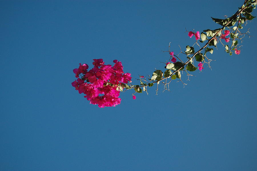 Bougainvillea Photograph - Color And Sky by Jean Booth