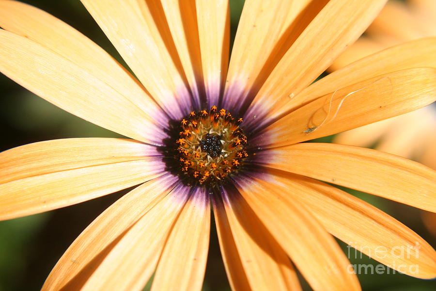 Flower Photograph - Color Burst by Amy Holmes