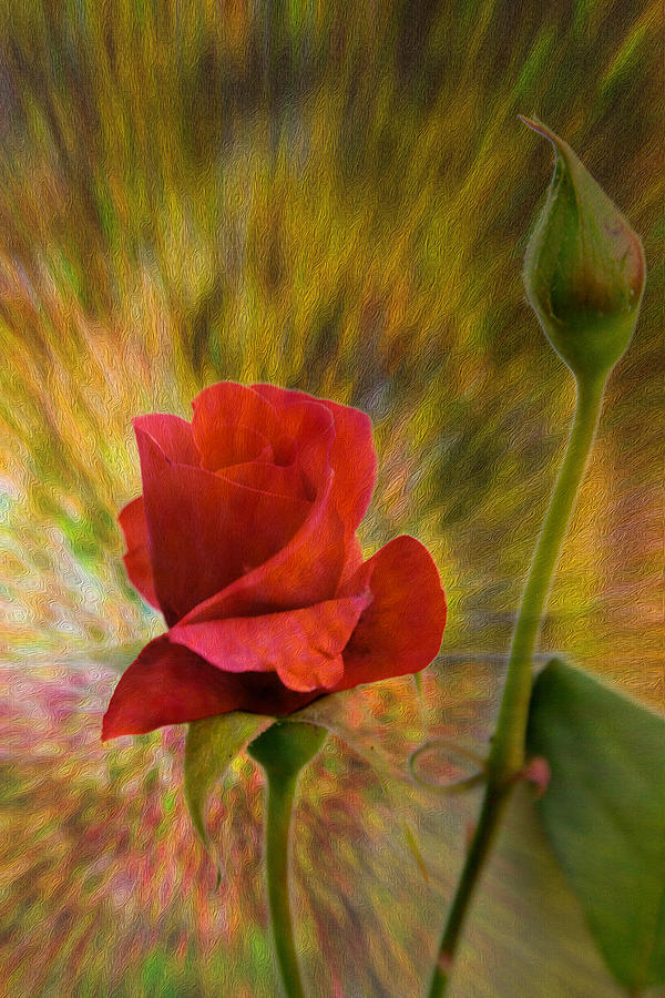 Rose Photograph - Color Explosion - Rose - Floral by Barry Jones