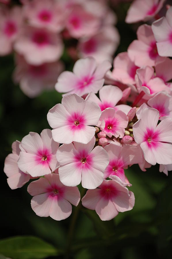 Flowers Photograph - Color Me Pink by Danielle Marco