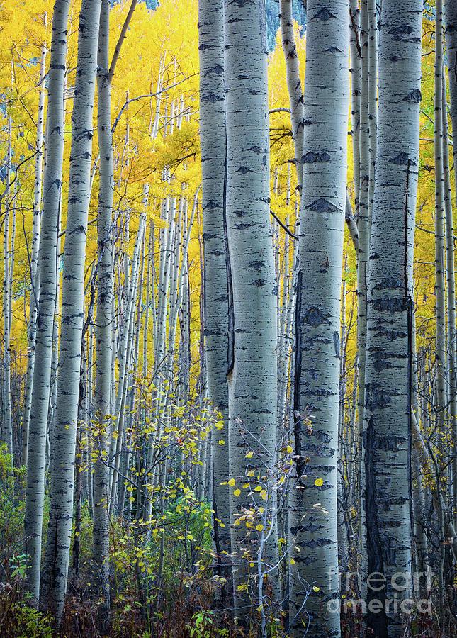 America Photograph - Colorado Aspens by Inge Johnsson
