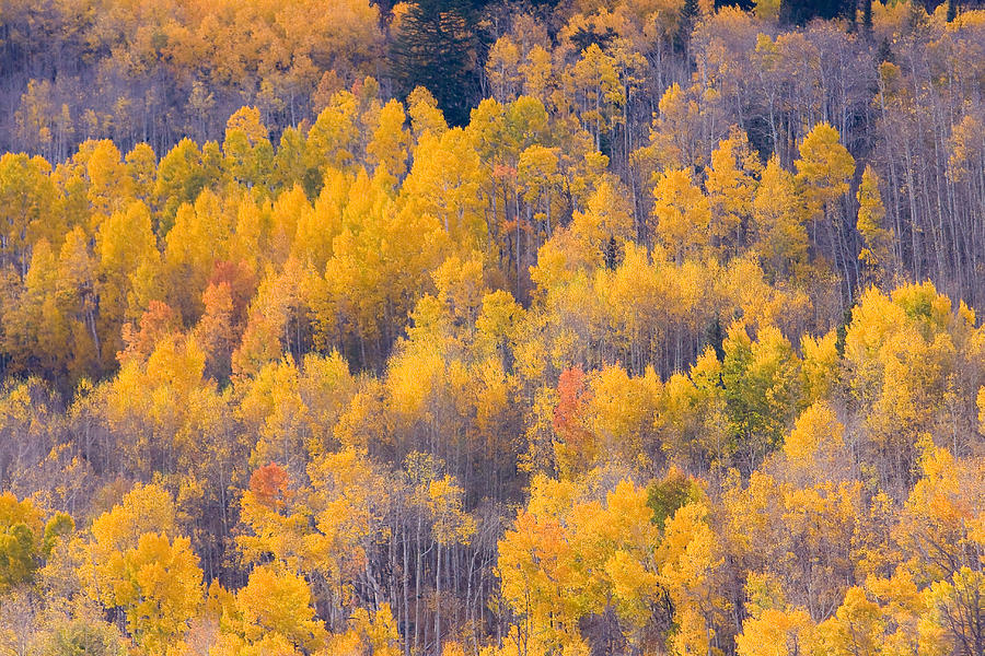 Trees Photograph - Colorado Autumn Trees by James BO Insogna