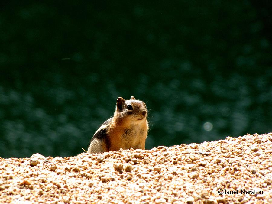 Colorado Chipmunk Photograph By Janet Marston